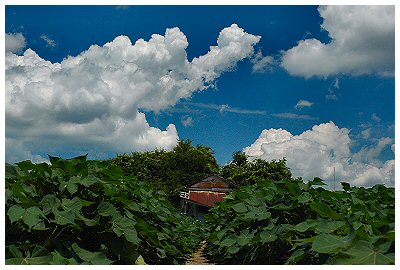 In case you missed it, the clouds look like cotton balls over this field of cotton plants...