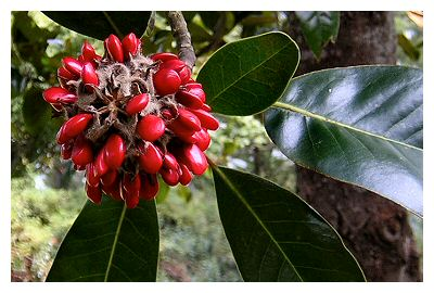 I never realized just how red magnolia seeds were until I passed by this tree out side of Providence Hospital in Mobile, AL.