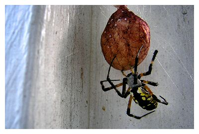 Bags is a Yellow Garden Spider.  This is a wimpy name for any spider of this size, so my coworker suggested Big A** Garden Spider, BAGS.  Jen thought this to be the perfect name...