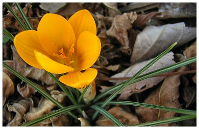 The crocuses are always the first to bloom